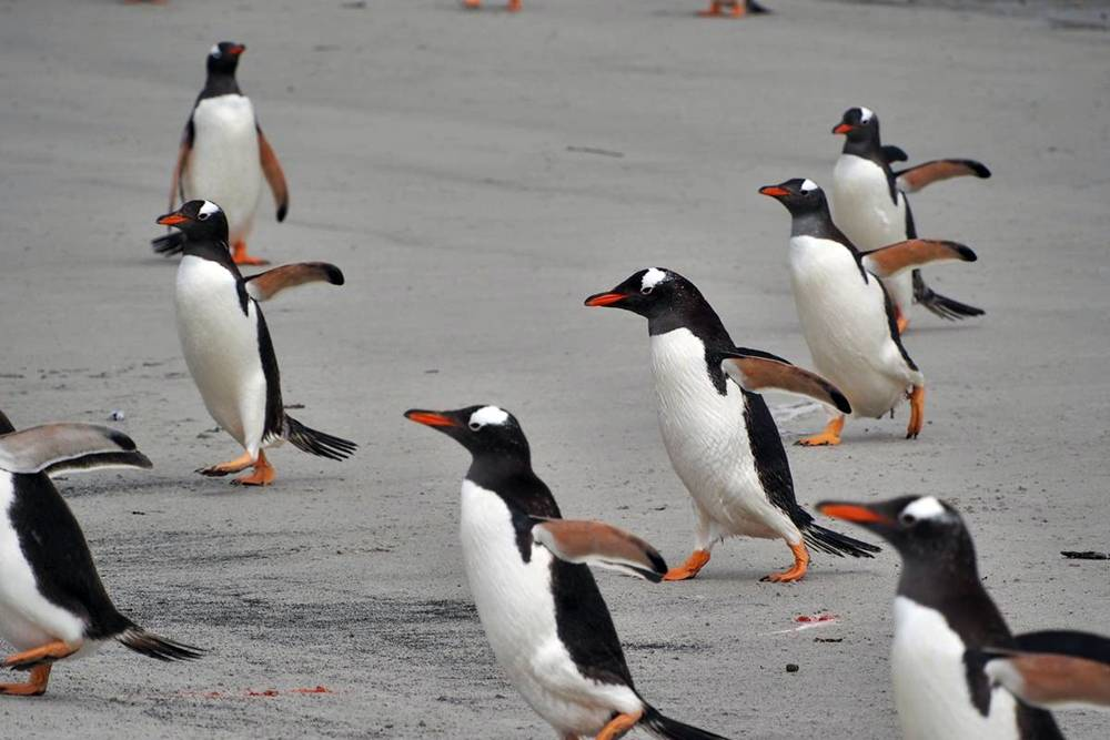 Gentoo penguins coming ashore Falkland Islands