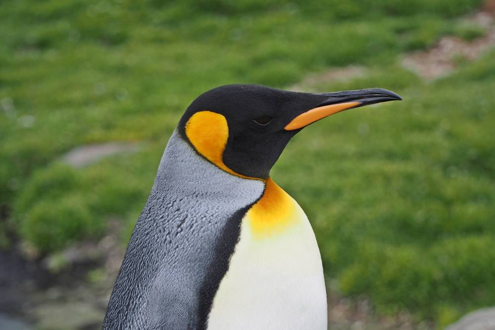 The colourful King penguin