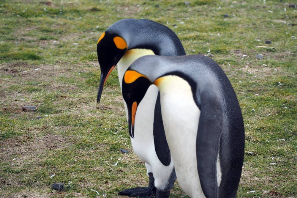 A King penguin pair