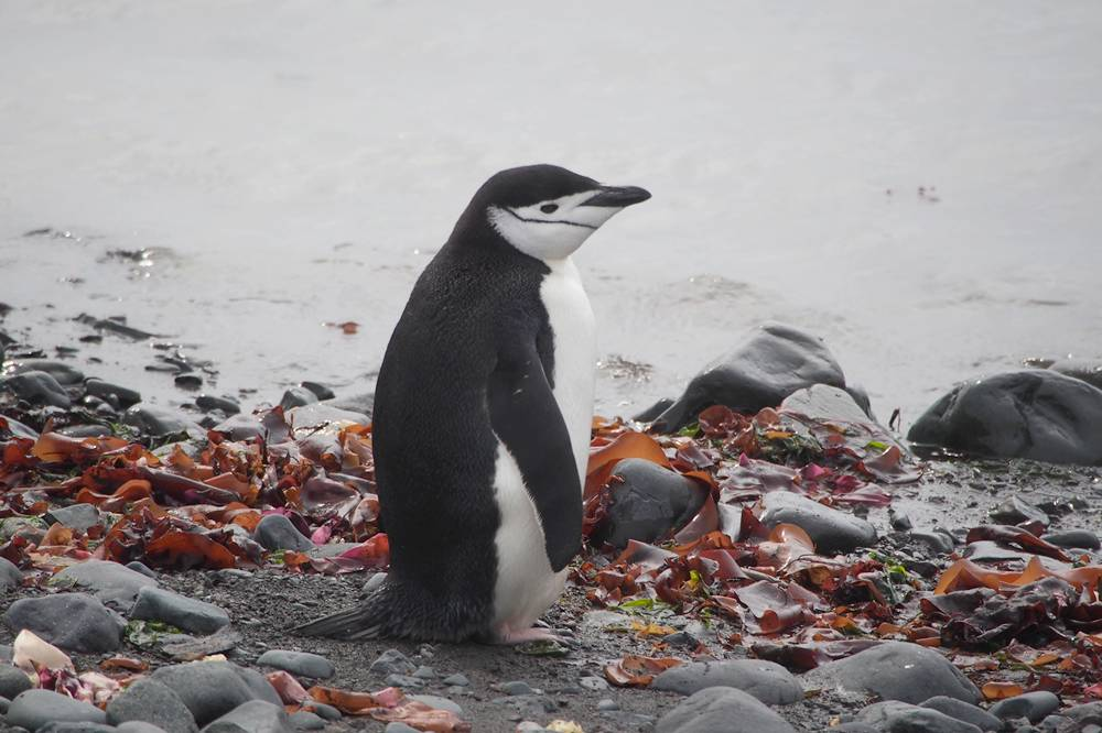 The contemplation of a Chinstrap penguin