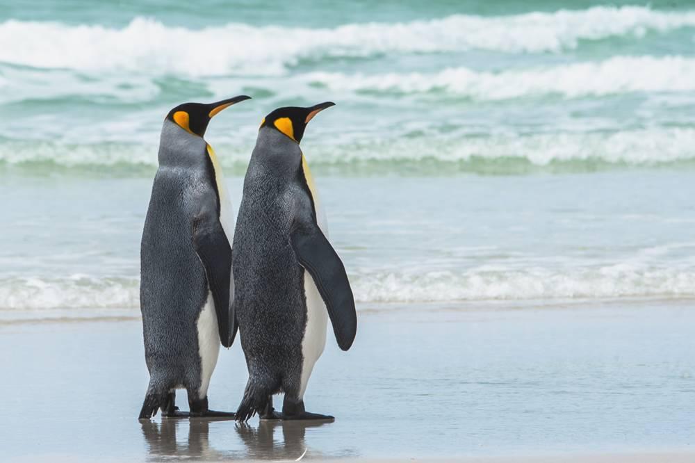 I love King penguins..