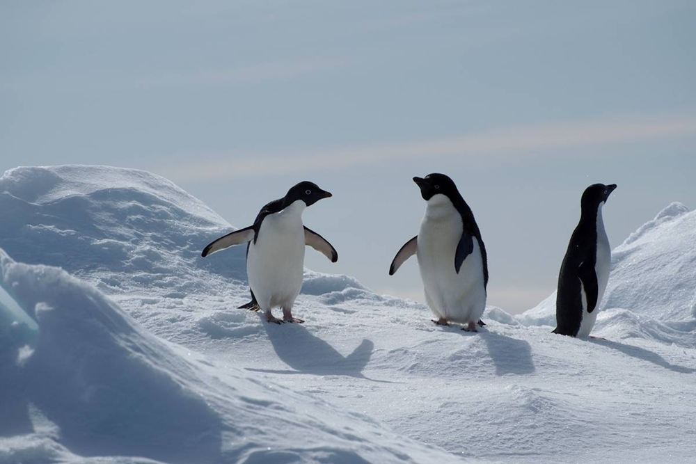Adelie penguins on an ice flow