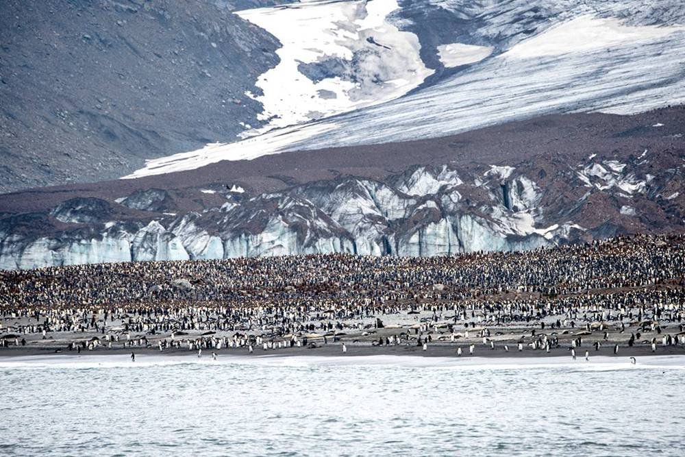 The King penguins of South Georgia