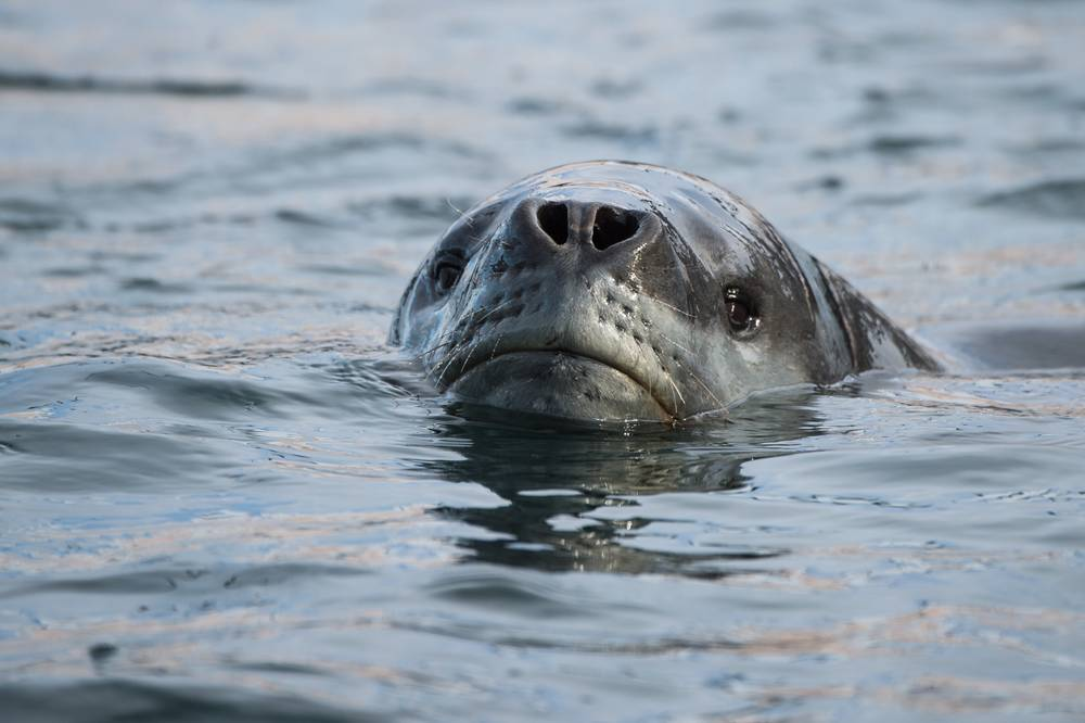 Leopard seal eyeing us off