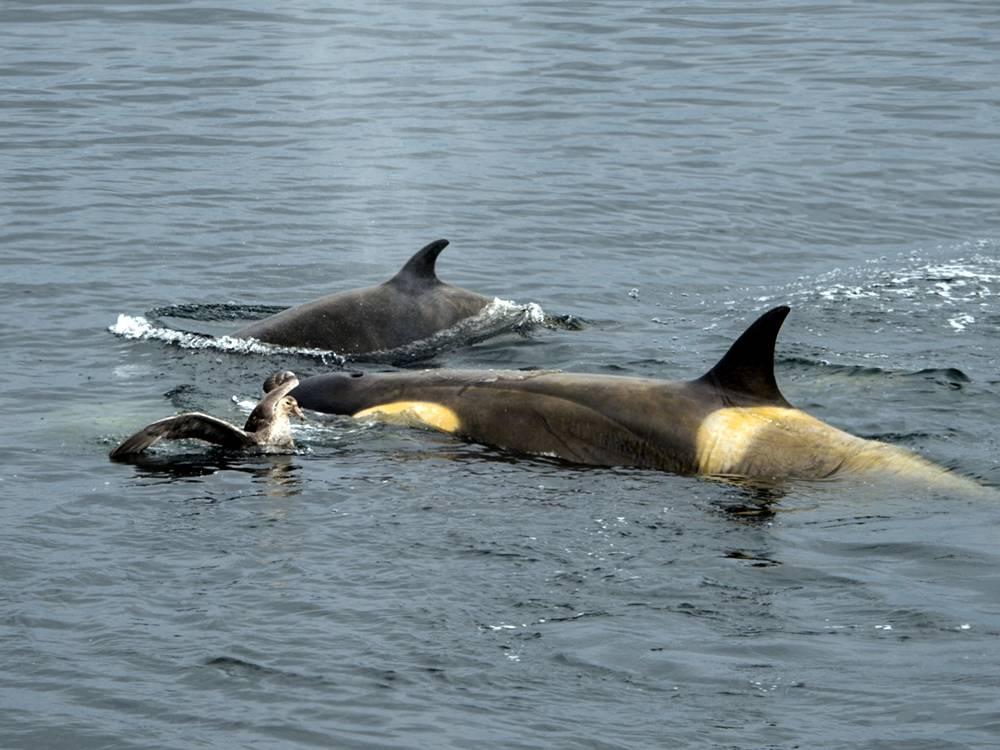 Killer whale playtime 2