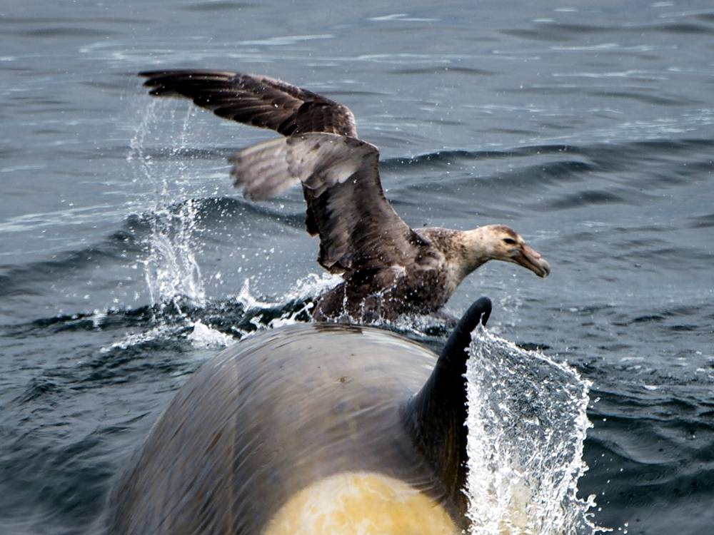 Killer whale playtime 4